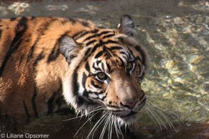 AK Tiger2
