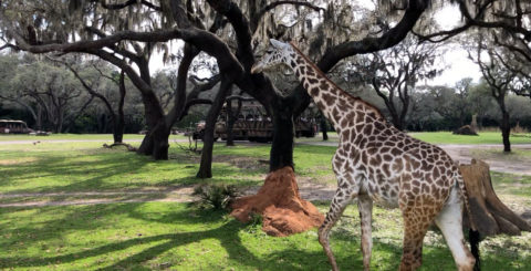 kilimanjaro safaris giraffe featured