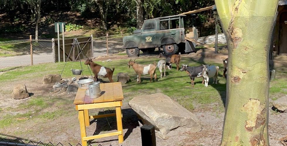 Animal Kingdom Kilimanjaro Safaris Nigerian dwarf goats